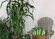 Grow Corn in a planter on decks Hybrid (Burpee)
