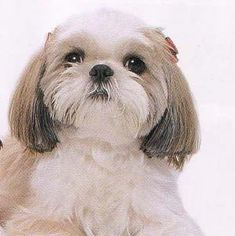 JESSIAH DOG  I LOVE YOU JESSE Shih Tzu
