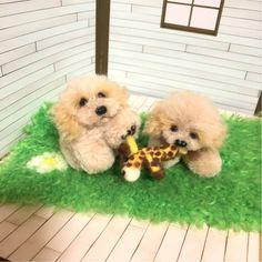 羊毛フェルト 犬 子犬 ハンドメイド プードル トイプードル スタンダードプードル クリーム アプリコット アプリ