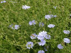 Wild Chicory later summer flowering. The flowers close up at night. Can be a strong grower needing a bit of room to approx 4ft high