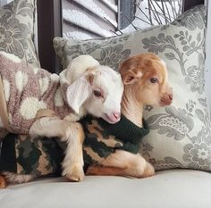 """Meet The Inspiring Woman Who Quit Her Big City Job to Raise Baby Goats \""""I went from making a great salary to making nothing. I traded in my high heels for rubber muck boots and had no idea what I was going to do next. Cute Little Animals, Cute Funny Animals, Animals For Kids, Animals And Pets, Animals In Clothes, Baby Farm Animals, Cabras Animal, Cute Goats, Mini Goats"""