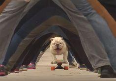 O Bulldog skatista que entrou para o Guinnes Book