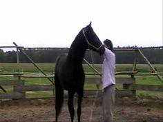 Doma India - Scarpati - Caballo jerarquico India, Diy Projects, Horses, Natural, Animals, Stables, Goa India, Animales, Animaux