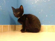 TO BE DESTROYED 9/11/13 Brooklyn Center  My name is RILEY. My Animal ID # is A0978065. I am a female black domestic sh mix. The shelter thinks I am about 7 WEEKS old.  I came in the shelter as a STRAY on 09/06/2013 from NY 11208, owner surrender reason stated was ABANDON. https://www.facebook.com/photo.php?fbid=662416437103525&set=a.576546742357162.1073741827.155925874419253&type=3&theater