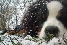 Josefe the Bernese Mountain Dog