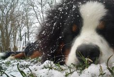 Josefe the Bernese Mountain Dog