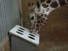 1000+ images about giraffe enrichment on Pinterest   Giraffes ...