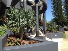 12 months on and these 300 litre Dragon Trees set the scene at a Main Beach apartment, Gold Coast.