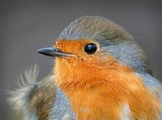 Orange Bird  (blue bird) Pretty Birds, Love Birds, Beautiful Birds, Simply Beautiful, Orange Bird, Blue Bird, Robin Photos, European Robin, Robin Redbreast