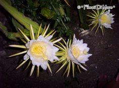 Linosa, Epiphyllum, Il fiore di ferragosto