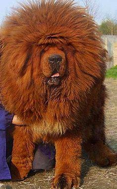 Tibetan Mastiff / bad hair day !