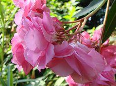 OLEANDER HAUS  Nerium Oleander Gotsis Antigone Nerium, All Flowers, Rose, Asparagus, Plants, House, Gardening, Roses, Plant