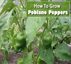 How To Grow Poblano Peppers - on the mild side, not as hot as jalapenos... #gardening #homestead #homesteading