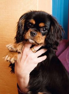 Yes, I know, Black and Tan CKC spaniels are gorgeous