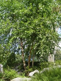 'Heritage' is a vigorous, fast-growing tree with layers of cinnamon, salmon and brown bark peeling back in big sheets to reveal creamy white...