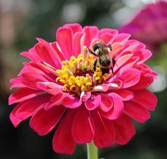 Zinnia Poster featuring the photograph Bee On Pink Flower by Cynthia Guinn