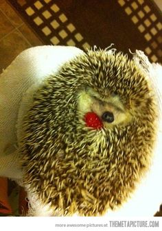 Just a hedgehog with a raspberry. Only the cutest thing EVER!