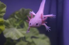 I am like Axolotl because we refuse to grow up. Growing ups makes us ugly! Also- smiles!
