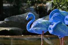 Image result for blue flamingos