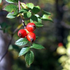 šípková marmeláda od babičky-min Rosehip Oil For Skin, Rosehip Seed Oil, Edible Plants, Edible Flowers, Fruit Photography, Rose Essential Oil, Tropical Fruits, Food Illustrations, Autumn Trees