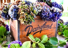 How to harvest and dry amazing MULTICOLOURED HYDRANGEAS - Funky Junk Interiors I have an old box in my garage which will be coming out for use.
