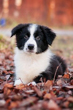 Border collie ~ By Maria Zheltkevich