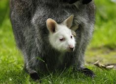 OK, let's get started with this wallaby who was born albino.   This Year's 45 Most Lovable Baby AnimalPictures