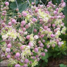 Thalictrum 'Elin' Lavender Flowers, Pink Flowers, Herbaceous Border, Wild Nature, Plant Design, Shade Garden, Perennials, Planting Flowers, Exotic