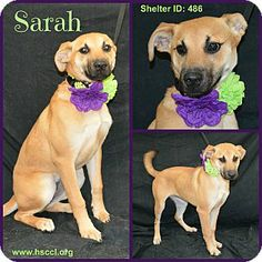 Plano, TX - Black Mouth Cur Mix. Meet Sarah a Dog for Adoption. Good with other dogs. This dog is available to rescue, foster or adopt. If you are interested in this animal, please begin by filling out our online application which can be accessed through our website at www.hsccl.org/Adoption_Application.html and we will contact you. Find us on Facebook @ https://www.facebook.com/pages/Humane-Society-of-Cedar-Creek-Lake/155194581183469?sk=wall.