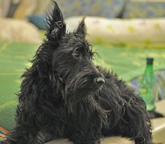 I just love our Scrappy.  This is not him, but it is a picture than I cam across and it looks JUST like him!