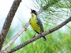 The endangered Kirtland's Warbler