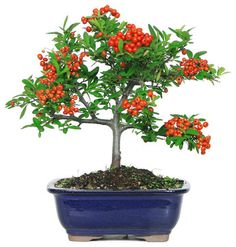 Captivating Firethorn Berry Bonsai; Delicious Fruits Are Edible When Made Into Jelly,  But Are Mildly