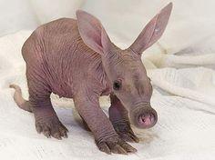 Aardvark newborn.