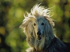 Photographic Print: A Portrait of an Afghan Hound Dog Poster by Joel Sartore : 16x12in