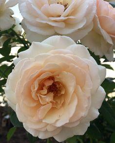Роза нежная🌹