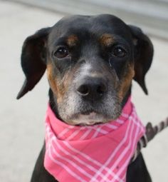 SUPER URGENT Brooklyn Center Brooklyn Center My name is RUBY. My Animal ID # is A1049287. I am a female tricolor beagle mix. The shelter thinks I am about 5 YEARS old. I came in the shelter as a OWNER SUR on 08/26/2015 from NY 11367, owner surrender reason stated was PERS PROB. http://nycdogs.urgentpodr.org/ruby-a1049287/