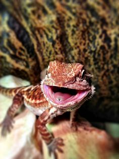 Post with 313 views. My Happy Bearded Dragon Bearded Dragon Funny, Bearded Dragon Diet, Pet Dragon, Baby Dragon, Cute Reptiles, Reptiles And Amphibians, Reptile Room, Reptile Cage, Reptile Enclosure