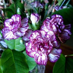 http://images.fineartamerica.com/images-medium-large/variegated-carnations-will-borden.jpg