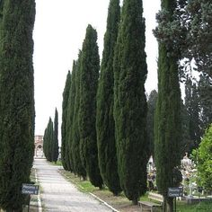 1000 ideas about italian cypress trees on pinterest. Black Bedroom Furniture Sets. Home Design Ideas