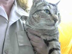 3/15/17 * Networking appreciated and encouraged but NO PLEDGING please. Thank you! DESSA -- ID# A666935 Temperament: FRIENDLY; EAR-TIPPED I am a Spayed Female Gray tabby. The shelter staff think I am about 01 years old. I will be available for rescue on March 08, 2017. I am currently at Devore Shelter in San Bernadino, CA https://www.facebook.com/videosofdevorecats/videos/1219611211409813/
