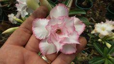 MUDA ENXERTADA DE ROSA DO DESERTO TS-324 - 12 Meses - Rosa do Deserto - Loja Oficial do Blog: PLANTE ROSA DO DESERTO, Mudas, sementes de rosa do deserto, fertilizantes, e ferramentas