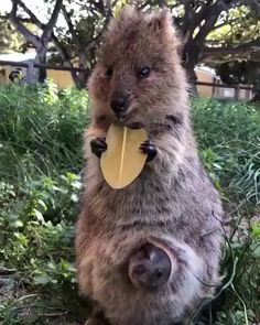 Cute little quokka and baby. Cute little quokka and baby.,Animals Related posts:Charli D'melio - tik tokGigi Hadid Claps Back At Haters Who Complain About Her Tomboy Style - CelebrityBeach Day - tik tokDiy TikTok. Happy Animals, Cute Funny Animals, Cute Baby Animals, Animals And Pets, Cute Cats, Strange Animals, Baby Wild Animals, Mother And Baby Animals, Rare Animals
