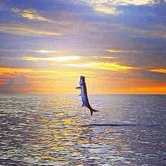 Tarpon jumping - these amazing creatures often can be seen in the waters right outside of the Big Pine Key Fishing Lodge #Fishing #Florida #Islamorada
