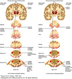 corticobulbar tract and corticospinal tracts - Google Search