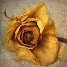 "Yellow Rose of Patron Saint Rita- Saint of ""The Impossible"""