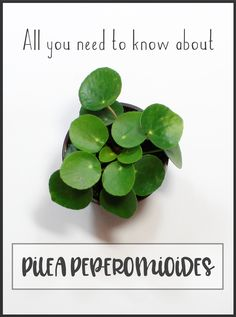 Pilea Peperomioides About