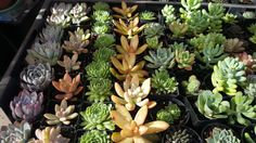 Shop for on Etsy, the place to express your creativity through the buying and selling of handmade and vintage goods. Succulent Wedding Favors, Wedding Favours, Buy Succulents Online, Rosettes, Etsy Shop, Shapes, Garden, Handmade Gifts, Plants