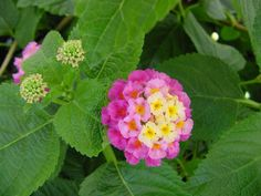 Lantana is a VERBENA family flower, with ~150 species of perennial flowering plants. Description from pinterest.com. I searched for this on bing.com/images