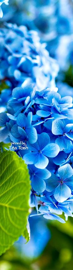 flowers.quenalbertini: Blue Hydrangeas | Téa Tosh