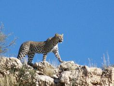 Rare viewing of a leopard in kGalagadi